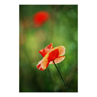 美麗的罌粟花 POSTER
