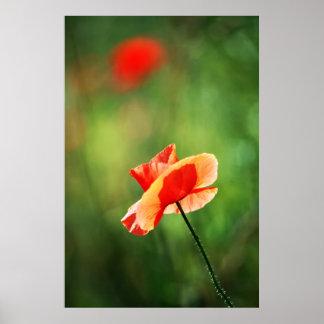 美麗的罌粟花 POSTERDRUCKE