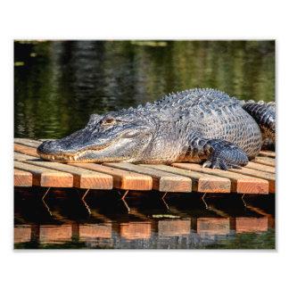 10x8 Alligator at Homosassa Springs Wildlife State Photo Print