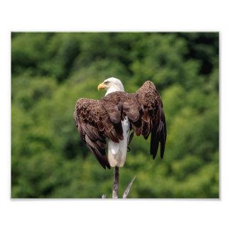 10x8 Bald Eagle on a branch Photo Print