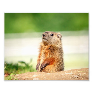 10x8 Young Groundhog Photo Art