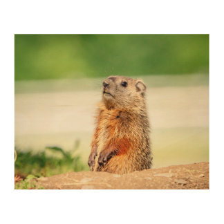 10x8 Young Groundhog Wood Print