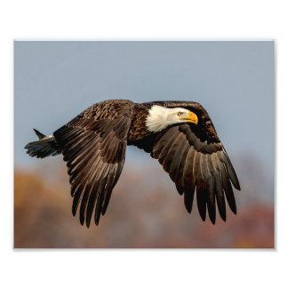 10x 8 Bald Eagle in flight Photo Print