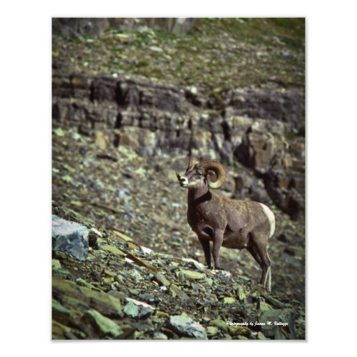11 x 14 Montana Bighorn Sheep #1 Art Photo
