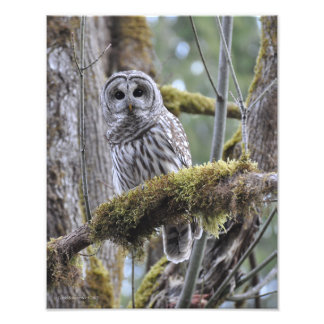 11X14 Barred Owl in Big Leaf Maple Tree Photographic Print