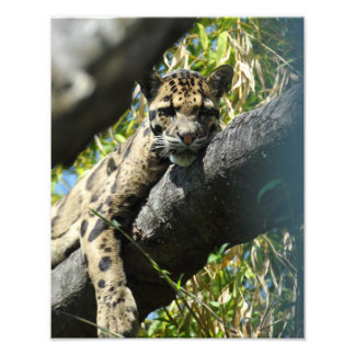 11X14 Clouded Snow Leopard Lounging Art Photo