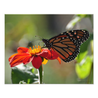 11X14 Monarch Butterfly on Mexican Sunflower Torch Photo Print