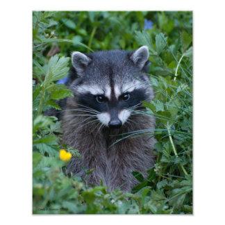 11X14 Raccoon Cutie Poo Photo