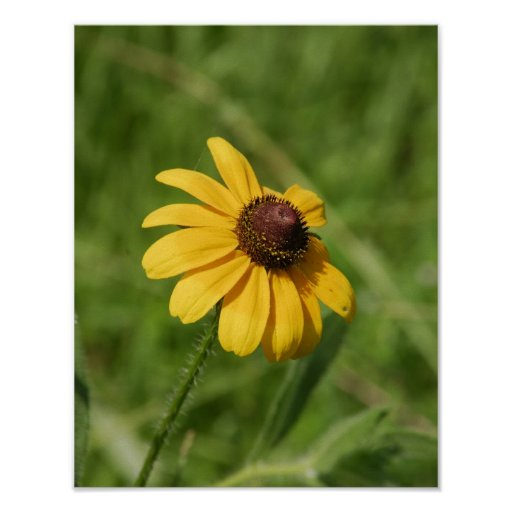 11x14 Wildflower Brown Eyed Susan Flower Poster