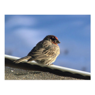 127 Finch on a Roof JM-008-127 Janet Marston Post Cards