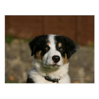 12 Week Old Border Collie Puppy Headshot Postcard