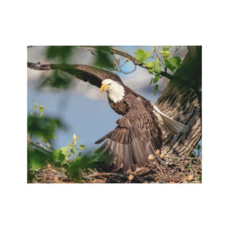 14x11 Bald Eagle leaving the nest Canvas Print