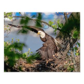 14x11 Bald Eagle leaving the nest Photo Print