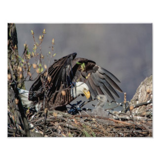 14x11 Bald Eagle with her baby Photo Print