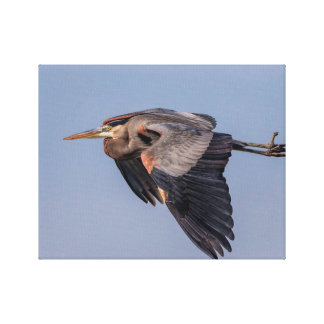 14x11 Great Blue Heron in flight Canvas Print