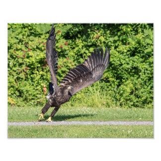 14x11 Juvenile Bald Eagle Photo Print