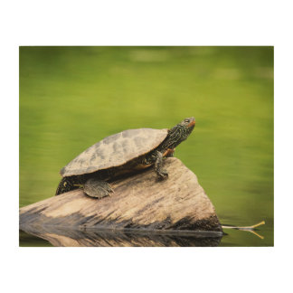 14x11 Painted Turtle on a log Wood Print