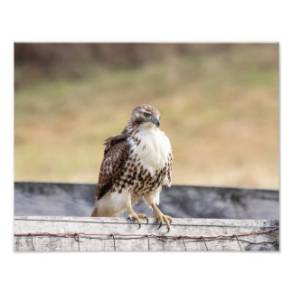 14x11 Portrait of an Immature Red Tailed Hawk Photo