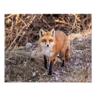 14x11 Red Fox up close and personal Photograph