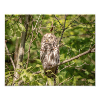 14x11 Sleepy Barred Owl Photo Print