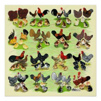 16 Chicken Families Poster