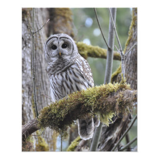 16X20 Barred Owl in Big Leaf Maple Tree Photo Print