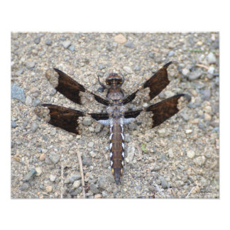 16X20 Dragonfly - A Common White-tail Photo
