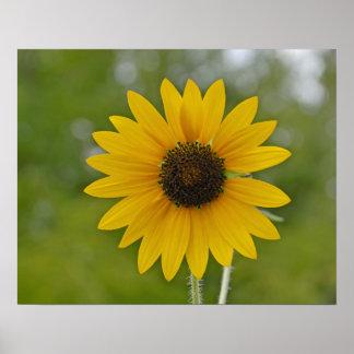 16x20 Single Sunflower Print