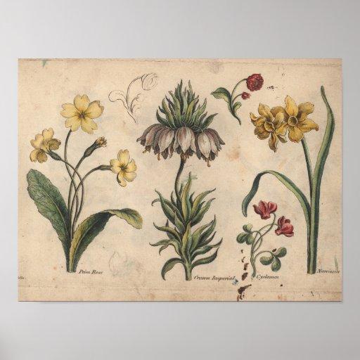 1757 Botanical Flower Art Print PrimeRose