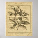 1817 Anniseed Culpeper Herbal Print