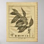 1817 Coffee Tree Culpeper Herbal Print