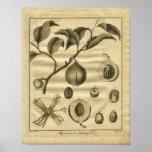 1817 Nutmeg Tree Culpeper Herbal Print