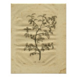 1817 Tea Tree Culpeper Herbal Print