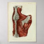 1844 Vintage Anatomy Print Muscles Shoulder