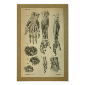 1850 Vintage Anatomy Print Arm Muscles