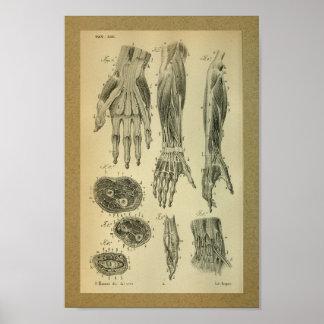 1850 Vintage Anatomy Print Arm Muscles