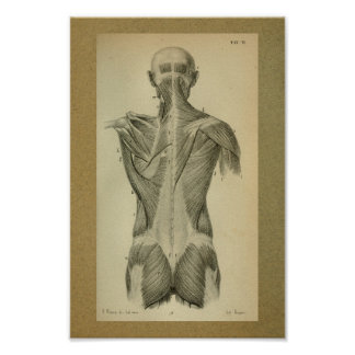 1850 Vintage Anatomy Print Back Muscles