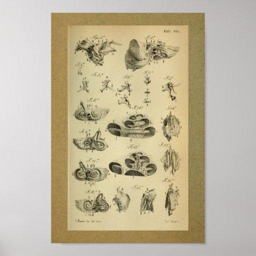 1850 Vintage Anatomy Print Ear Internal