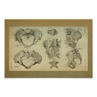 1850 Vintage Anatomy Print Pelvis