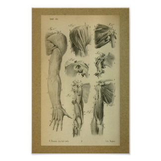 1850 Vintage Anatomy Print Shoulder Muscles