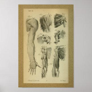 1850 Vintage Anatomy Print Shoulder Muscles
