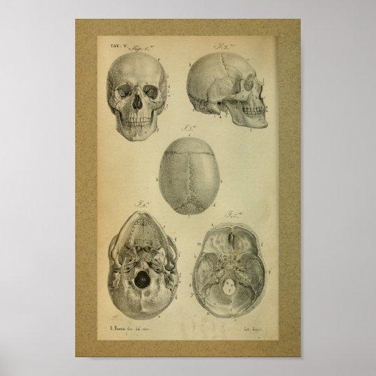 1850 Vintage Anatomy Print Skull