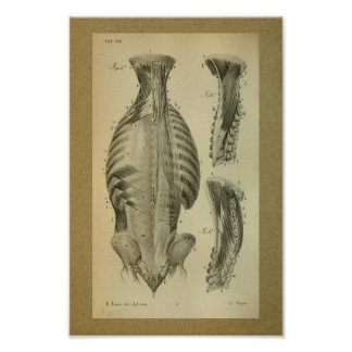 1850 Vintage Anatomy Print Spinal Muscles