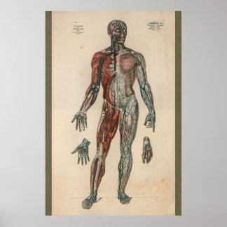 1851 Vintage Blood Supply Anatomy Chart
