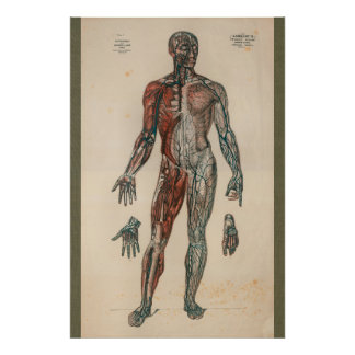 1851 Vintage Blood Supply Anatomy Chart Poster