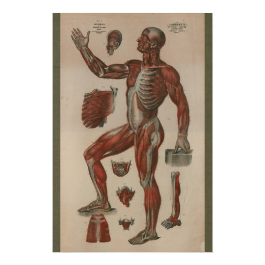 1851 Vintage Muscle Anatomy Chart