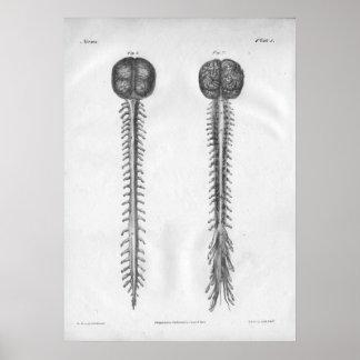 1854 Vintage Brain Spinal Cord Anatomy Print