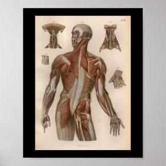 1879 Vintage Bock Anatomy Print Muscles