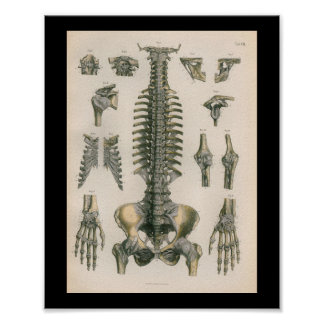 1879 Vintage Bock Anatomy Print Spine Joints