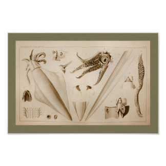 1896 Vintage Squid Anatomy Art Print